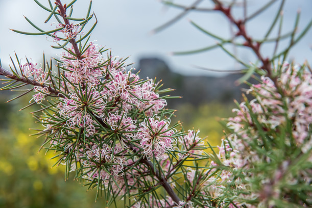 Pink wildflowers in foreground with mountain landscape in background